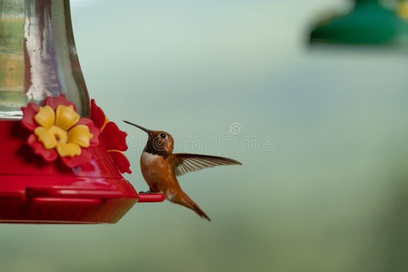 Hummingbird p? f?rlagemataren royaltyfria bilder