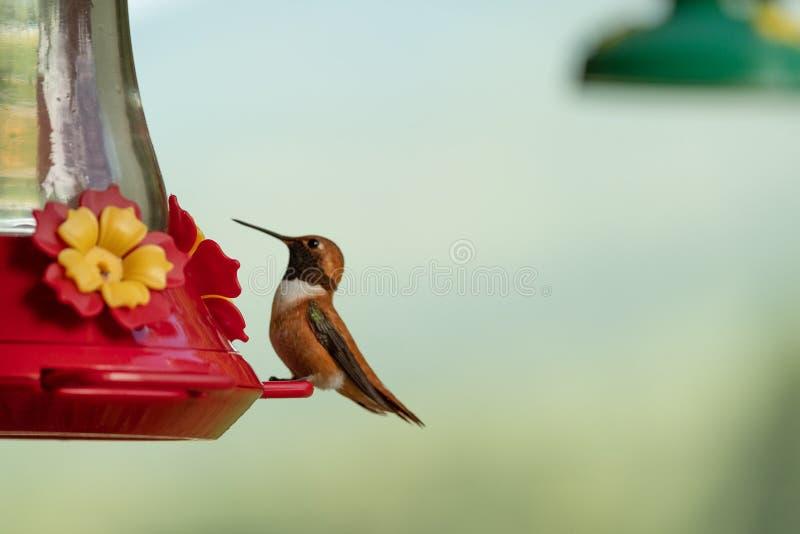 Hummingbird p? f?rlagemataren royaltyfri fotografi