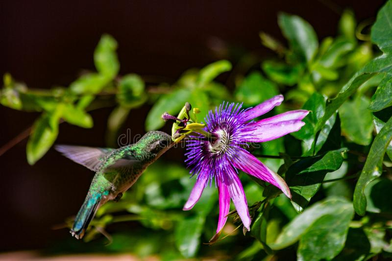 Hummingbird and Passion Flower stock images