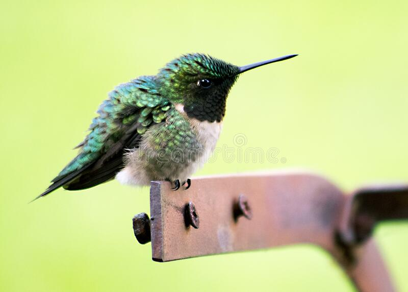 Hummingbird on perch royalty free stock image
