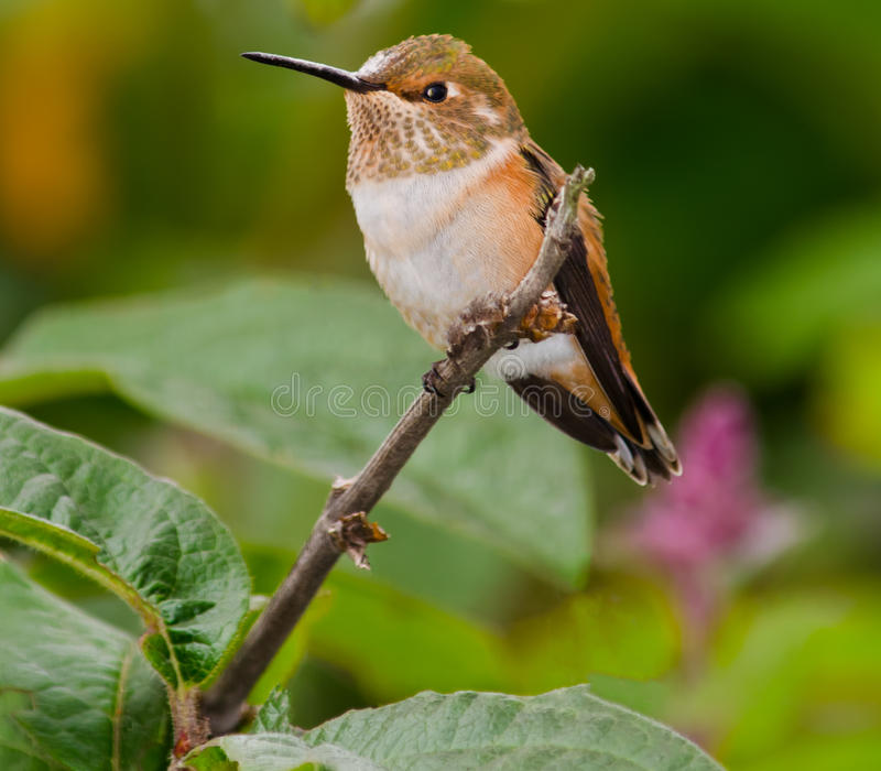 Hummingbird Perched. On a Branch stock photography