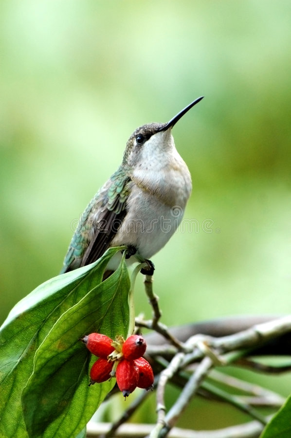 Hummingbird Perched on Branch. A hummingbird perched on a branch with red berries, vertical with copy space royalty free stock photos