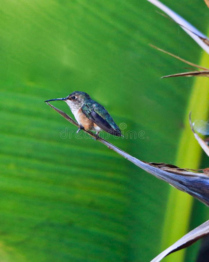 Hummingbird perched. Cute small hummingbird bird perched on top of green leaf in California royalty free stock image