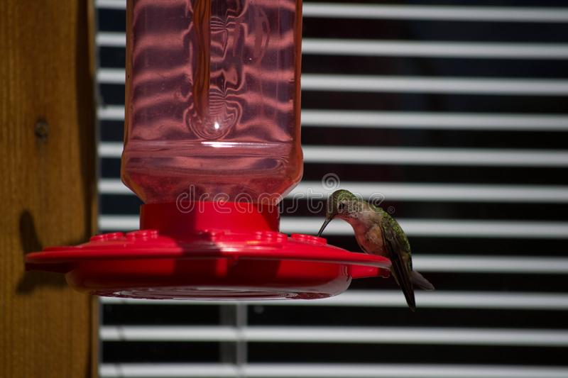 Hummingbird perched on a red feeder. A single red-breasted hummingbird perched on a red hummingbird feeder taking a sip of sweet nectar with its long needle-like stock photo