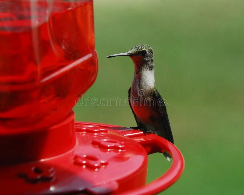 Hummingbird Perched on rim of Feeder royalty free stock photography