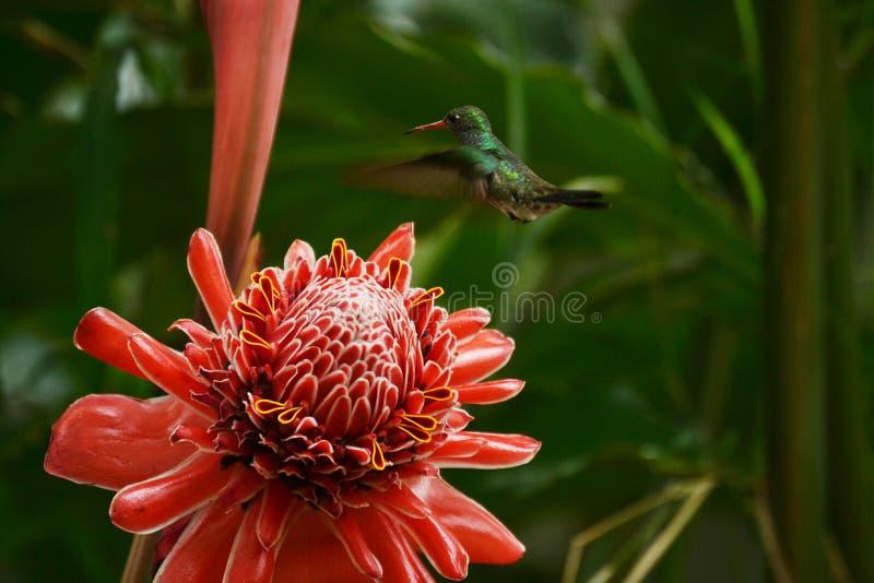 Hummingbird Piękny fotografia royalty free