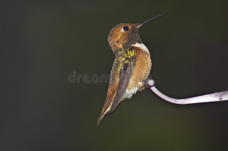 Hummingbird in profile on feeder dark green background stock image