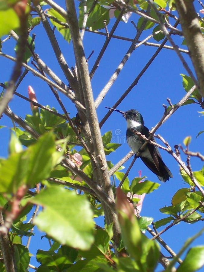 Hummingbird ptak umieszcza? na g?rze drzewa z niebieskiego nieba t?em obrazy royalty free