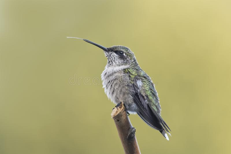 Hummingbird Relaxing on a Perch Showing Part of His Tongue. Juvenile male Ruby-throated Hummingbird, Archilocus colubris, perched in the garden showing the tip stock photography
