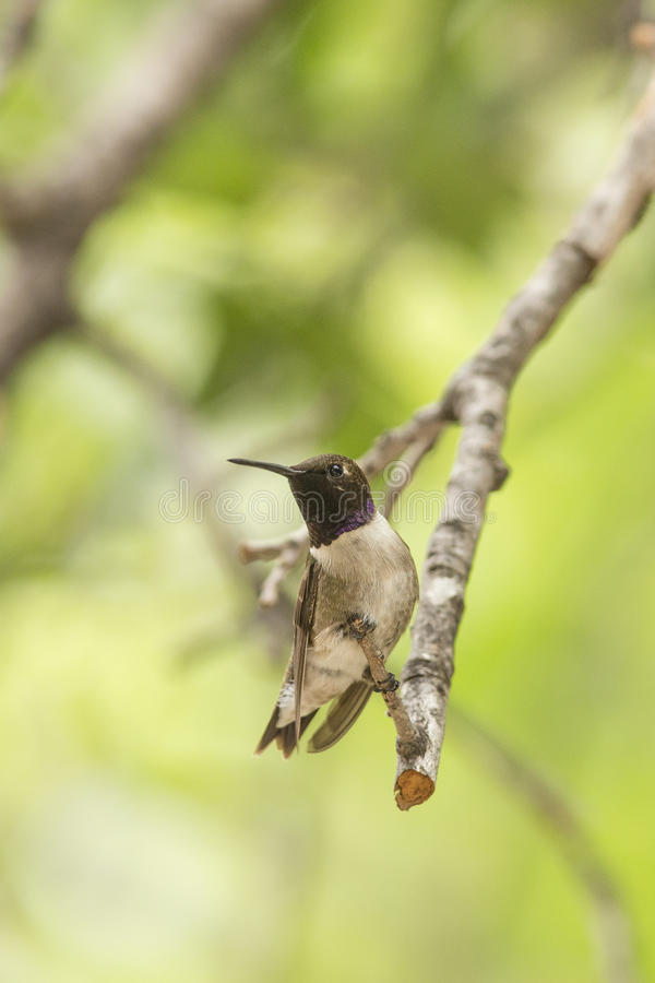 Free Hummingbird Resting After Drinking Nectar Stock Image - 38543411