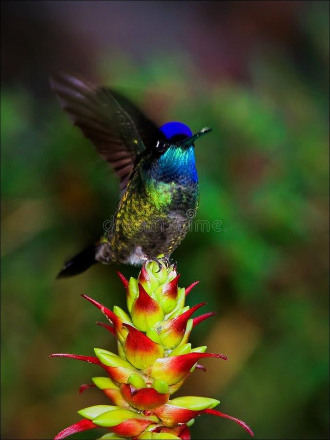 hummingbird ruch zdjęcia stock