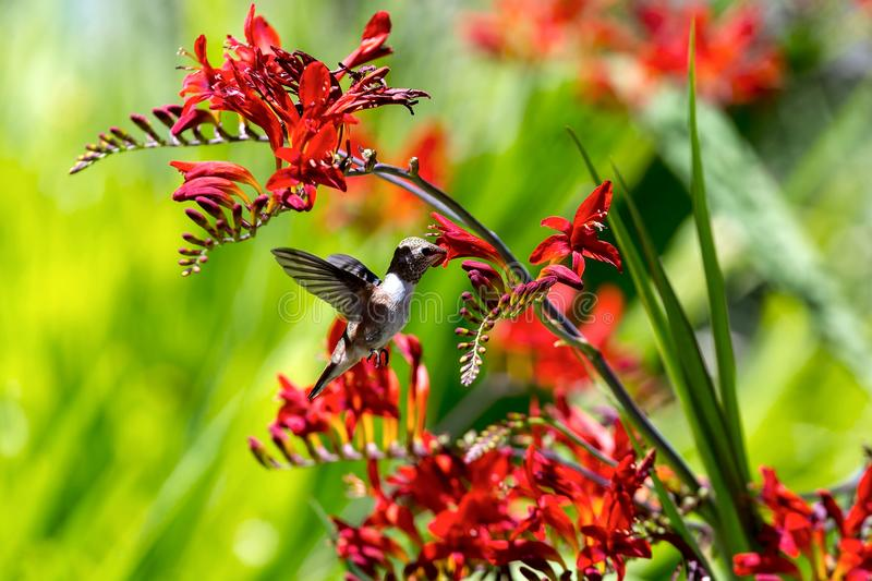 Hummingbird Getting Nectar from Flower. Hummingbird Rufous in flight getting nectar from red Croscomia flowers in summer royalty free stock photo