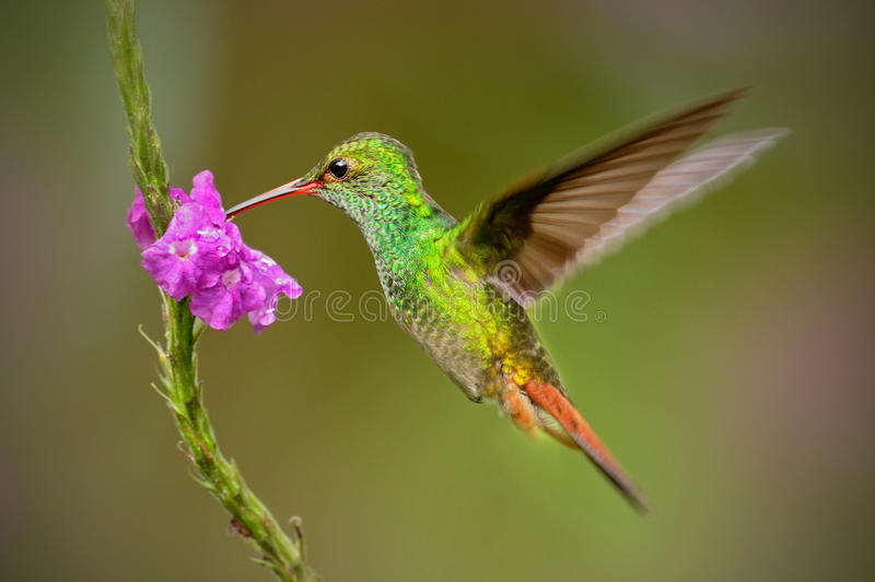 Hummingbird Rufous-tailed Hummingbird, Amazilia tzacat. Hummingbird with clear green background in Colombia. Humminbird in the nat stock images