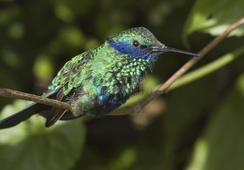 hummingbird słyszący fiołek fotografia royalty free