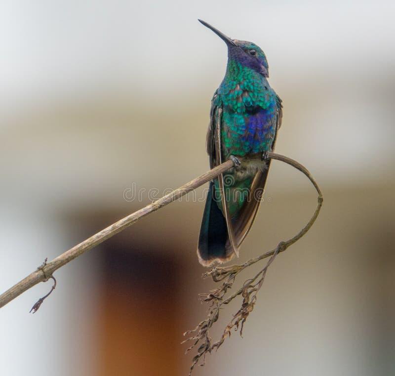 Hummingbird siedzi na brach, Ekwador fotografia royalty free