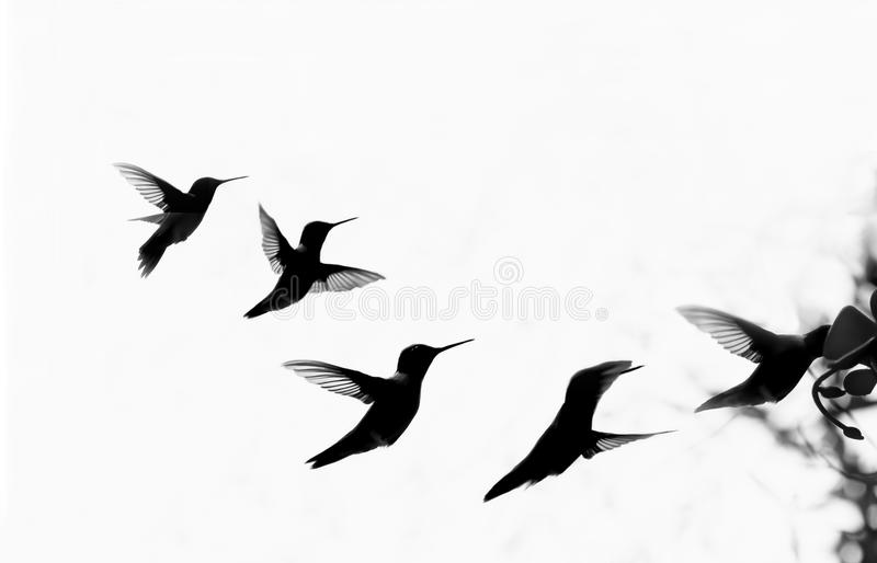 Hummingbird Silhouette Flying at Feeder stock photography