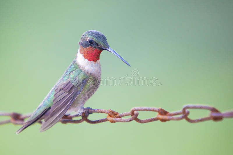 Download Hummingbird Sitting On Chain Stock Photo - Image: 14884986