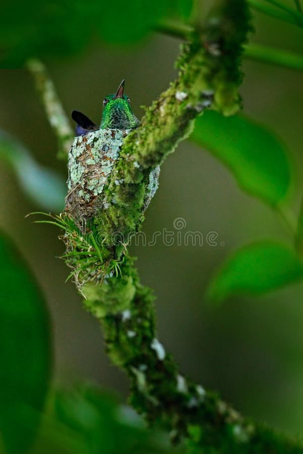 Hummingbird sitting on the eggs in the nest, Trinidad and Tobago. Copper-rumped Hummingbird, Amazilia tobaci, on the tree, wildlif. E scene from nature. Bird stock photography