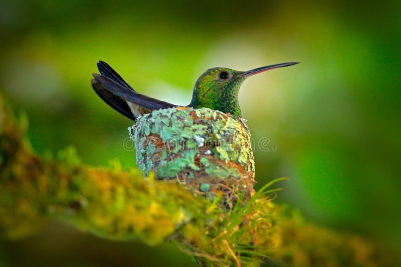 Hummingbird sitting on the eggs in the nest, Trinidad and Tobago. Copper-rumped Hummingbird, Amazilia tobaci, on the tree, wildlif. E scene from nature. Bird royalty free stock images