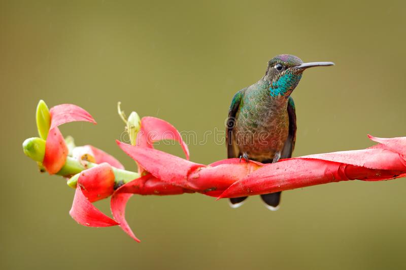 Hummingbird sitting on red flower. Magnificent Hummingbird, Eugenes fulgens, on bloom in the tropic forest. Wildlife scene from n. Ature. Detail of shiny glossy royalty free stock photo