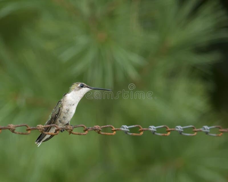 Hummingbird sitting on rusty chain royalty free stock photos