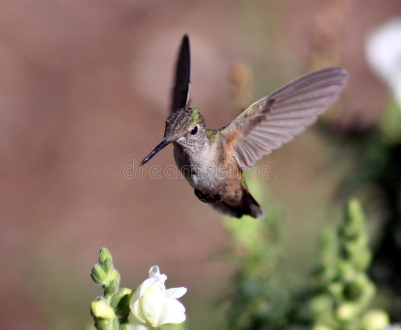 Hummingbird with snapdragon