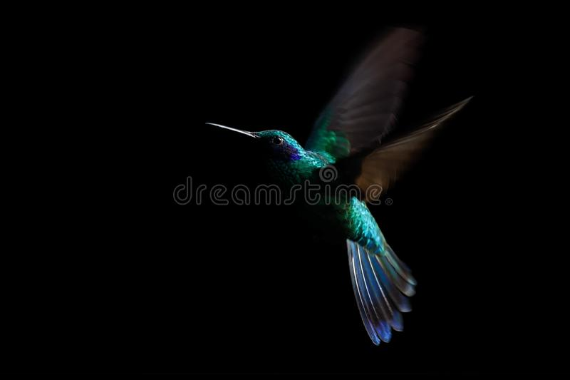 Hummingbird, sparkling violetear Colibri coruscans in flight. Low-key bird portrait. Bird in flight. Low light. Hovering, black. Background, Colombia, beautiful royalty free stock images