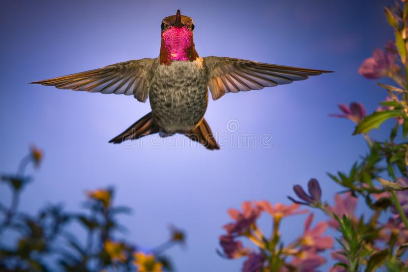 Hummingbird stares at Camera. A male anna`s hummingbird stares at camera while hovering royalty free stock images