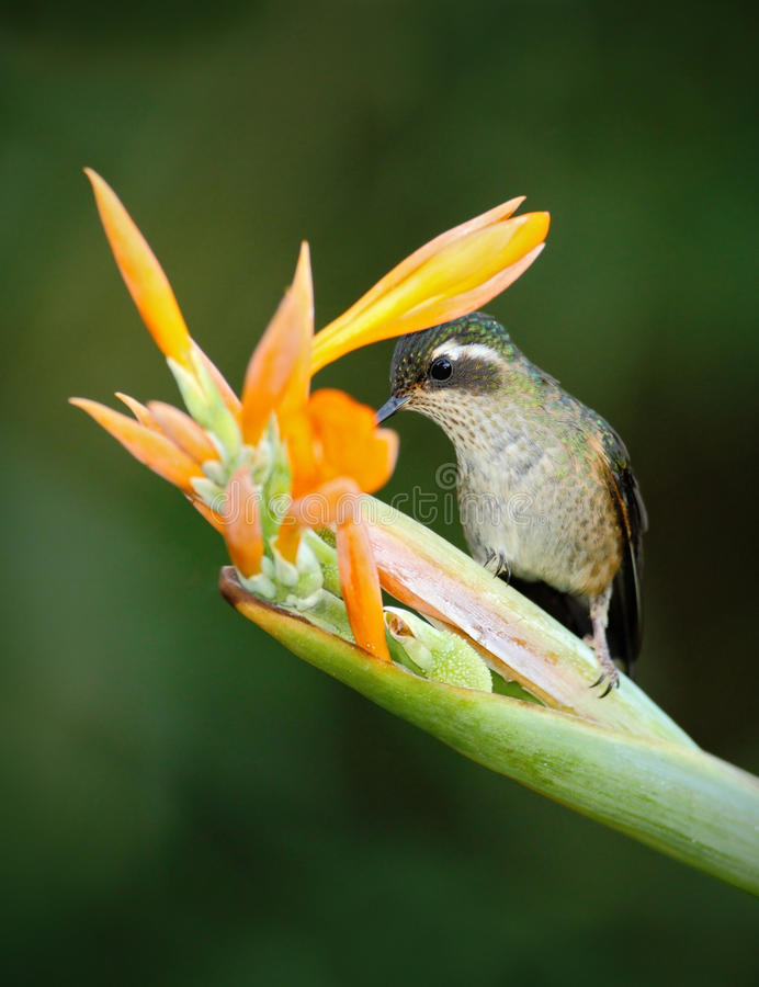 Hummingbird sylfidy łasowania Długoogonkowy nektar od pięknego żółtego strelicia kwiatu w Ekwador obraz royalty free