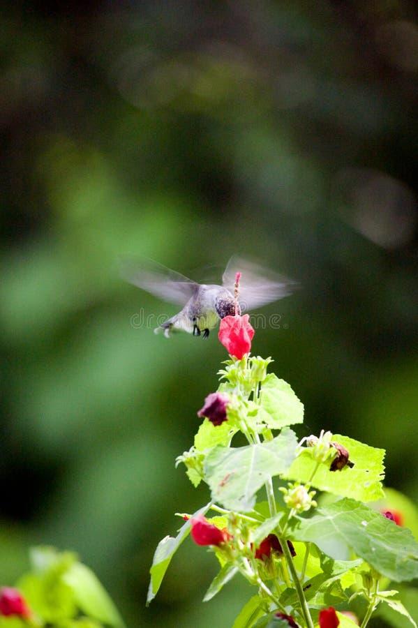 hummingbird texas стоковое изображение