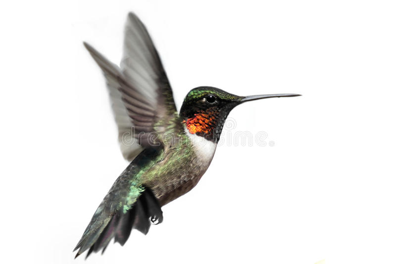 hummingbird throated isolerad ruby arkivfoton