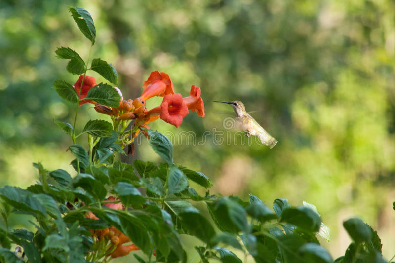 Hummingbird and Trumpet Vine. A female ruby-throated hummingbird hovering before a trumpet vine flower stock image