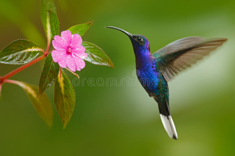 Hummingbird Violet Sabrewing flying next to beautiful pink flower royalty free stock photos