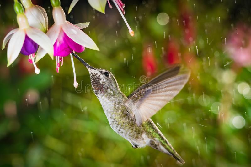Hummingbird visits fuchsia in raining day royalty free stock images