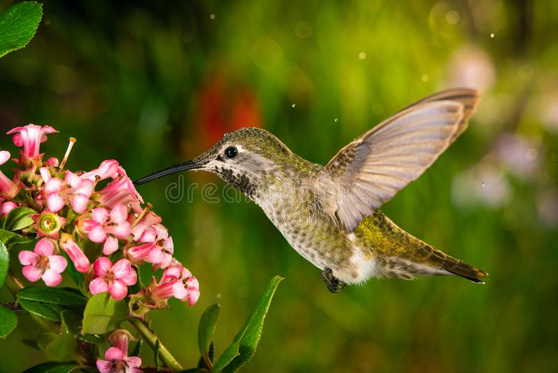Hummingbird visits pink flowers. This is a photo of a hummingbird visits pink flowers royalty free stock photos