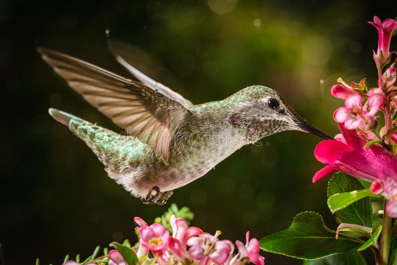 Hummingbird visits pink flowers royalty free stock image