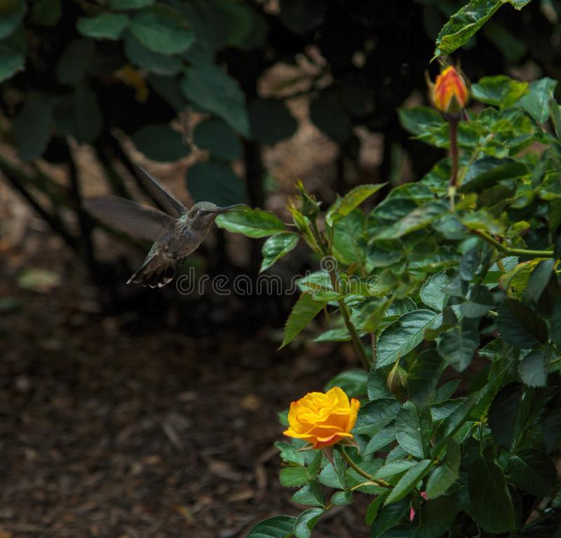 Hummingbird Visits Roses in Balboa Park, San Diego royalty free stock images
