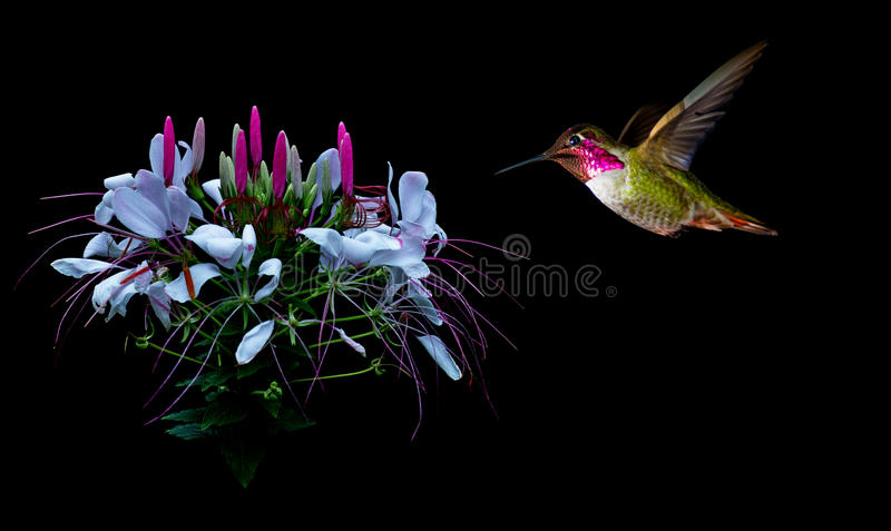 Hummingbird visits tropical flower black background stock image