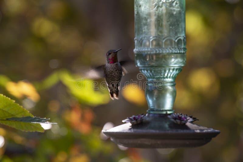 Hummingbird vuela cerca de un alimentador de cristal verde con colores de fondo otoñales fotos de archivo
