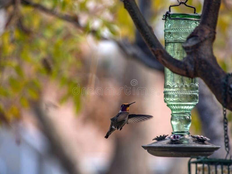 Hummingbird vuela cerca de un alimentador de cristal verde con colores de fondo otoñales imagenes de archivo