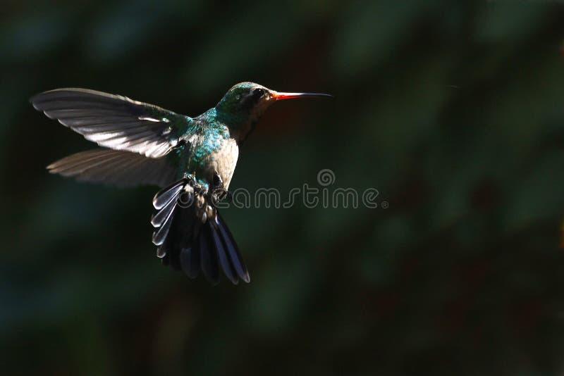 Hummingbird w locie obrazy stock