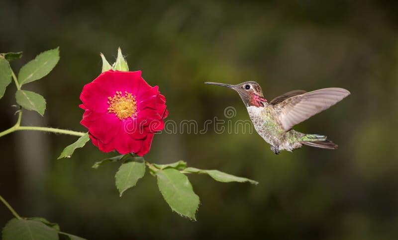 HUMMINGBIRD w lota i rewolucjonistki róży zdjęcia stock