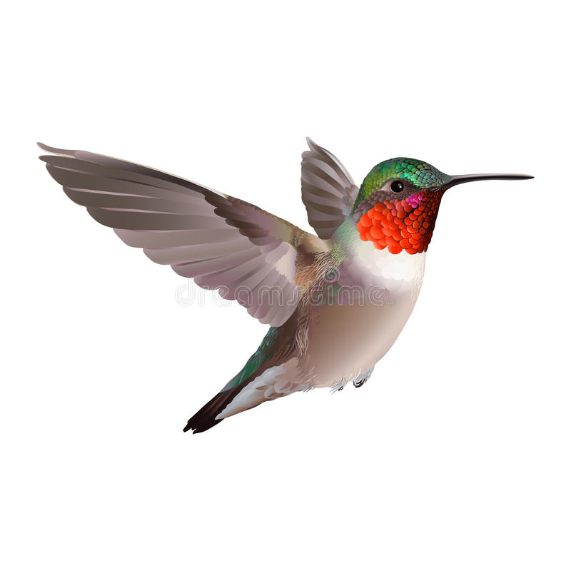 Hummingbird on white background. Colubris archilocus. Flying North American Ruby-troathed hummingbird with colorful glossy plumage: distinctive red throat and royalty free illustration