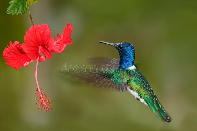 Hummingbird White-necked Jacobin, Florisuga mellivora, flying next to beautiful red hibiscus flower with green forest background, stock photos