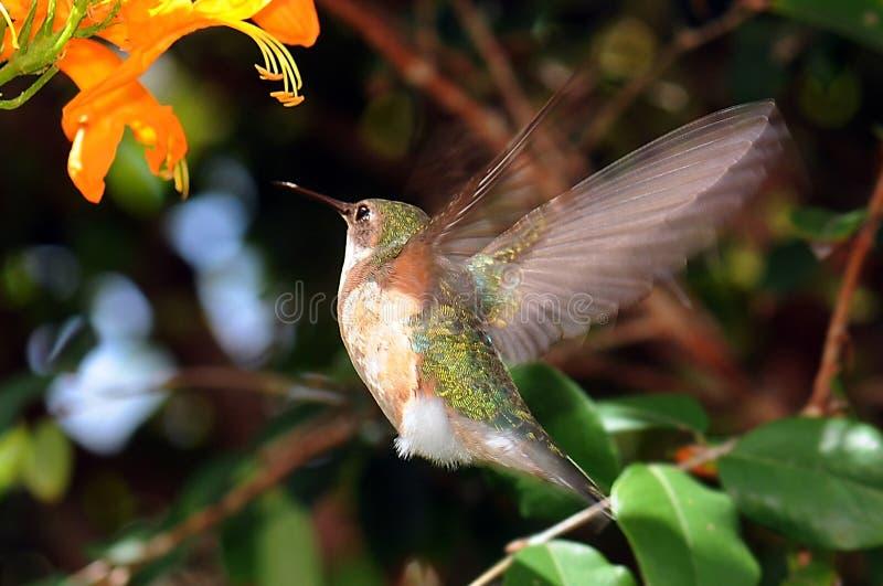 Hummingbird Wings stock images
