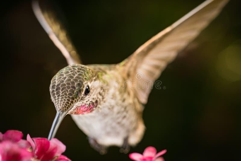 Hummingbird wizyt menchii kwiaty zdjęcie royalty free