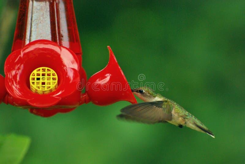 hummingbird4 стоковое изображение rf