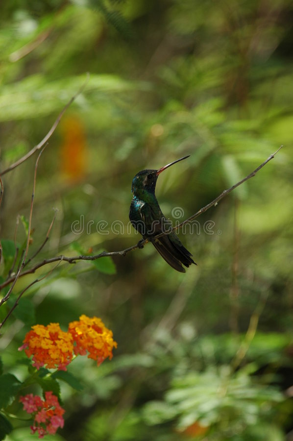 hummingbirden perched royaltyfria bilder