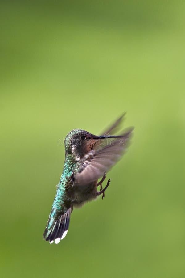 hummingbirdlandning royaltyfri bild