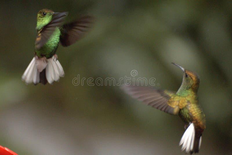 hummingbirds royaltyfri foto